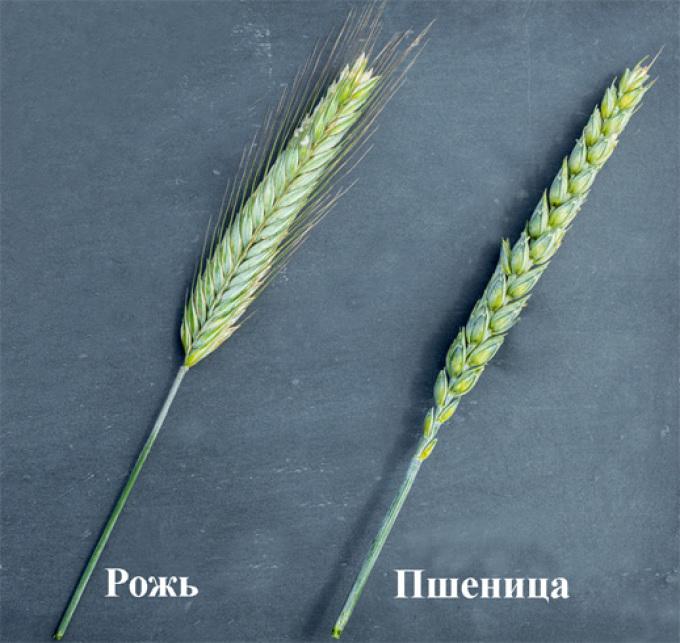 Рожь и пшеница.