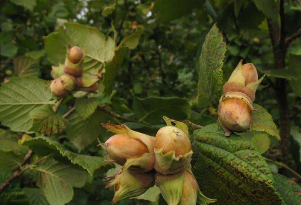 Лесной орех.
