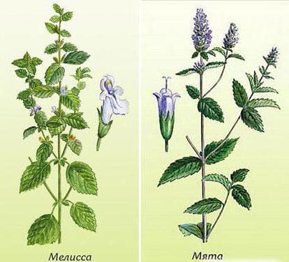 Мята и мелисса – как отличить растения