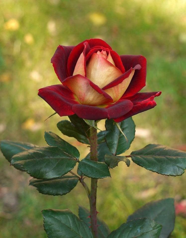 «Чайно-гибридные» розы.
