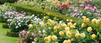 Отличие роз чайно-гибридных от флорибунда