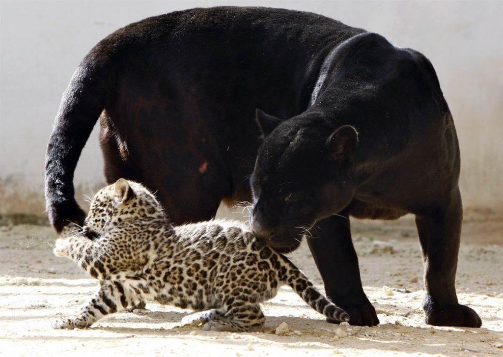 Чёрный ягуар с детёнышем.