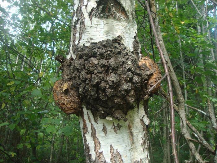 Кап на дереве.