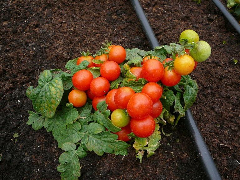 Детерминантные томаты.