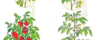 В чём разница между томатами индетерминантными и детерминантными