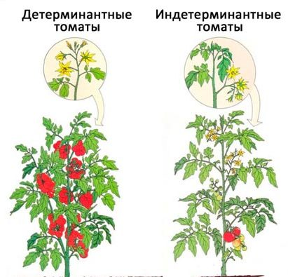 В чём отличие детерминантных томатов от индетерминантных.
