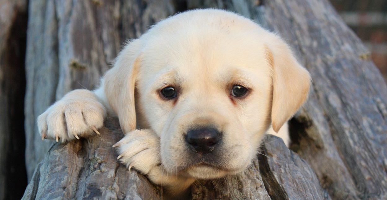 Лабрадор щенок.