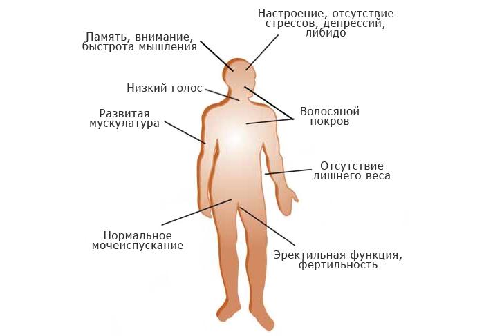 Влияние тестостерона на организм мужчины.